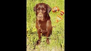 Натуральное кормление собаки/питание лабродора