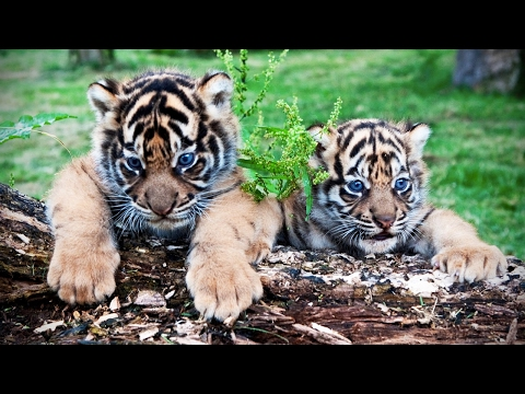 Cute Tiger Cubs Playing 🐆 Funny Tigers Playing [Funny Pets]