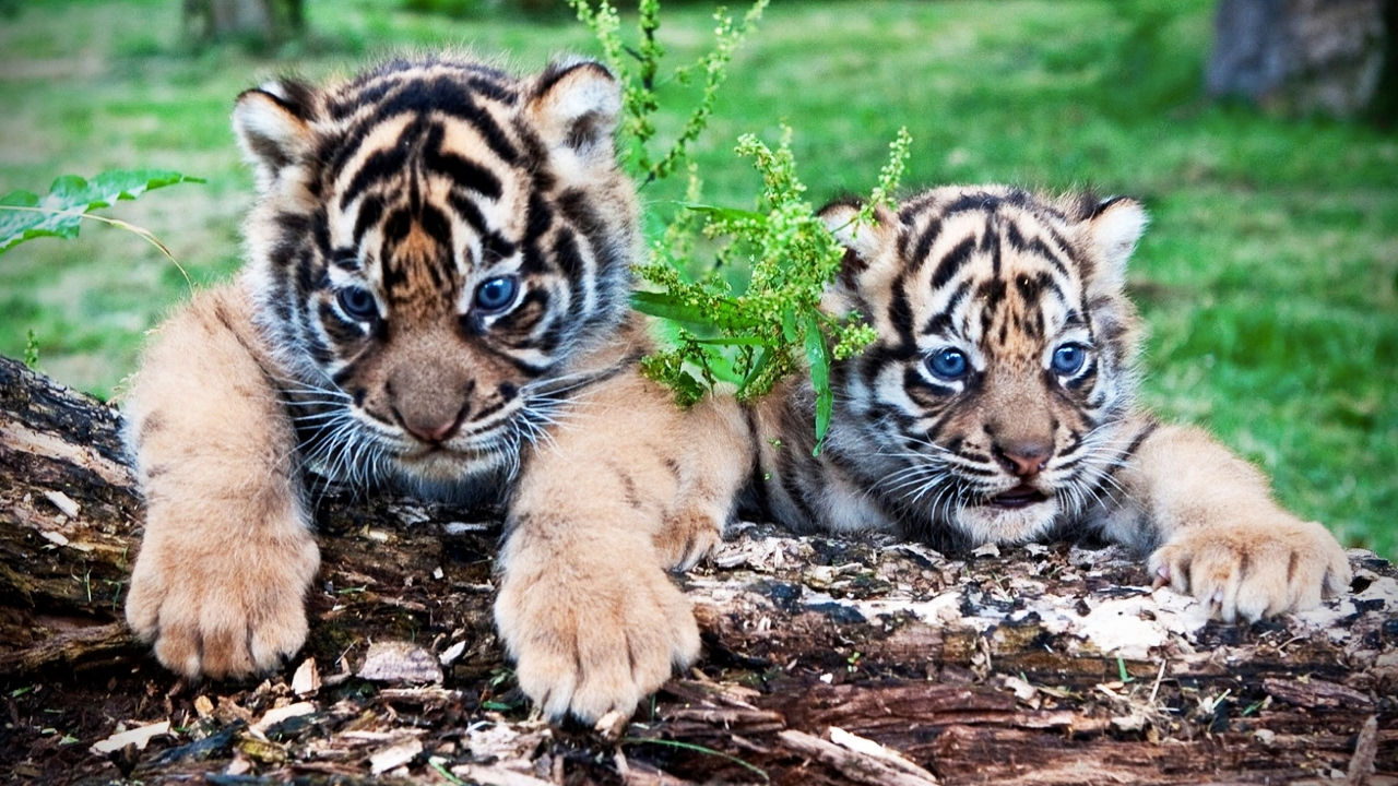Cute Tiger Cubs Playing 🐆 Funny Tigers Playing [Funny Pets ...