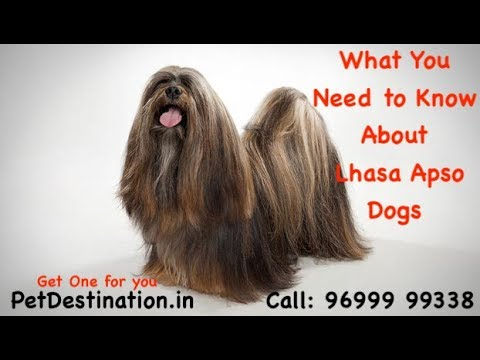 What You Need to Know About Lhasa Apso Dogs | Call: 96999 99338