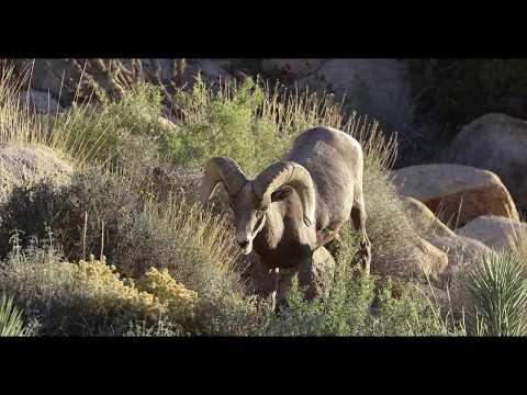 Bighorn Sheep in Joshua Tree in 4k