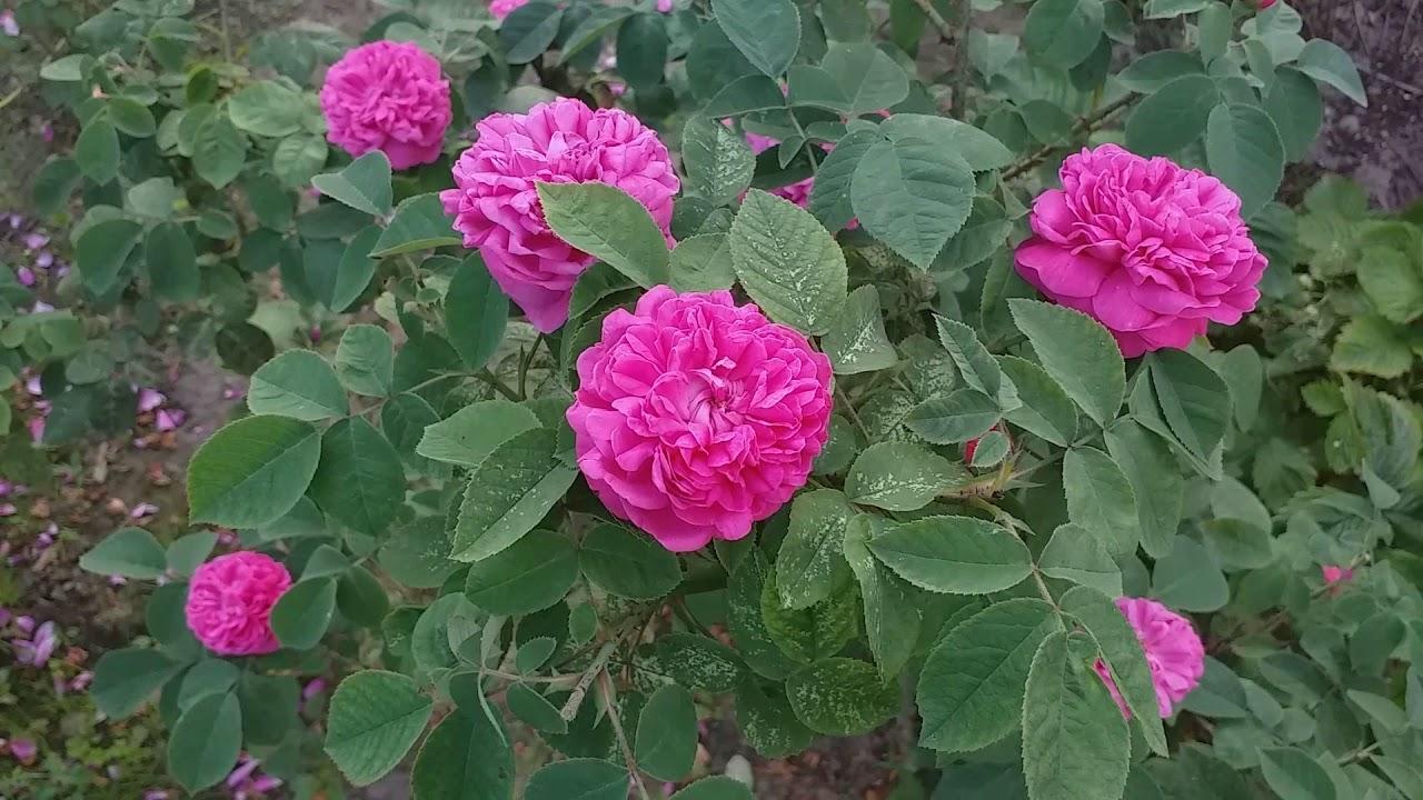 Чайная роза: Размножение и выращивание