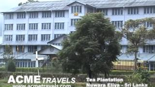 Tea Plantation Nuwaraeliya Sri Lanka Acme Travels