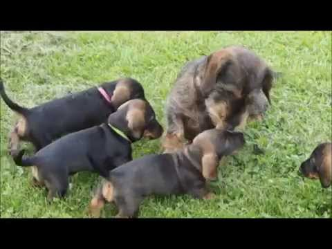 Wirehaired dachshund Tommy meets his 6-weeks-old puppies - YouTube