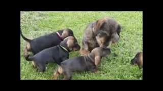 Wirehaired Dachshund Tommy Meets His 6-weeks-old Puppies