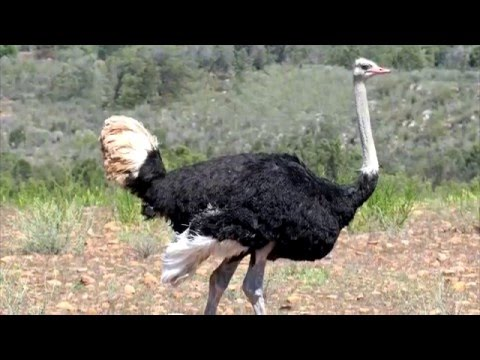 страус интересные факты