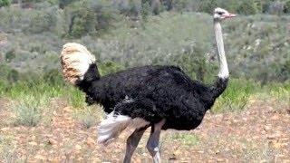 страус интересные факты(Африканский страус — самая крупная из современных птиц: высотой до 270 см и массой до 156 кг. Страус имеет плот..., 2016-01-21T13:09:50.000Z)