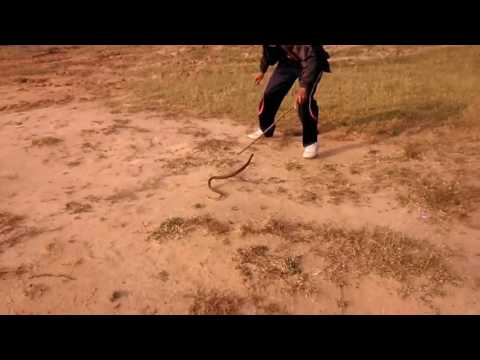 Snake rescue by pushpendra singh