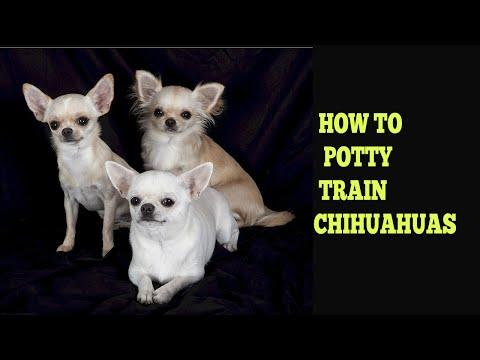 How To Potty Train Chihuahuas