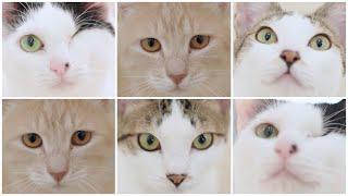 NyankuruTV Vol.12  にゃんくるTV Vol.12 【かわいい猫カフェ/保護猫】【Cute Cat Cafe】
