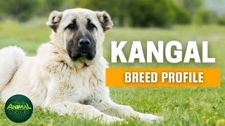 Kangal Dogs 101 | The Canine with the World's Strongest Jaw