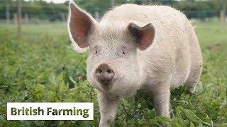 British Farming | A Parcel of Pigs