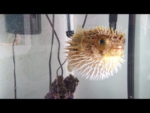 PUFFER FISH BLOW FISH Inflated then Deflated - BLOW ME, BEAUTIFUL