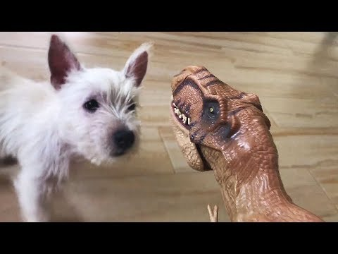 DOG ANNOYED of our pet dinosaur