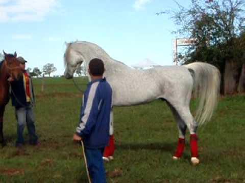 Hylan - Arabian Horse - Haras Engenho, Laucidio Coelho