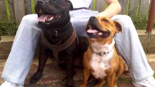Irish Staffordshire Bull Terrier - Tyson From Pup