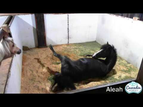 Aleah's first foal. A bay Caspian filly.
