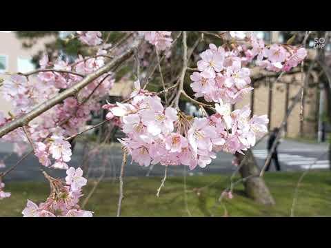 Sakura Katahira