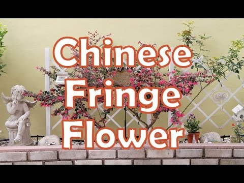 红继木 Chinese fringe flower