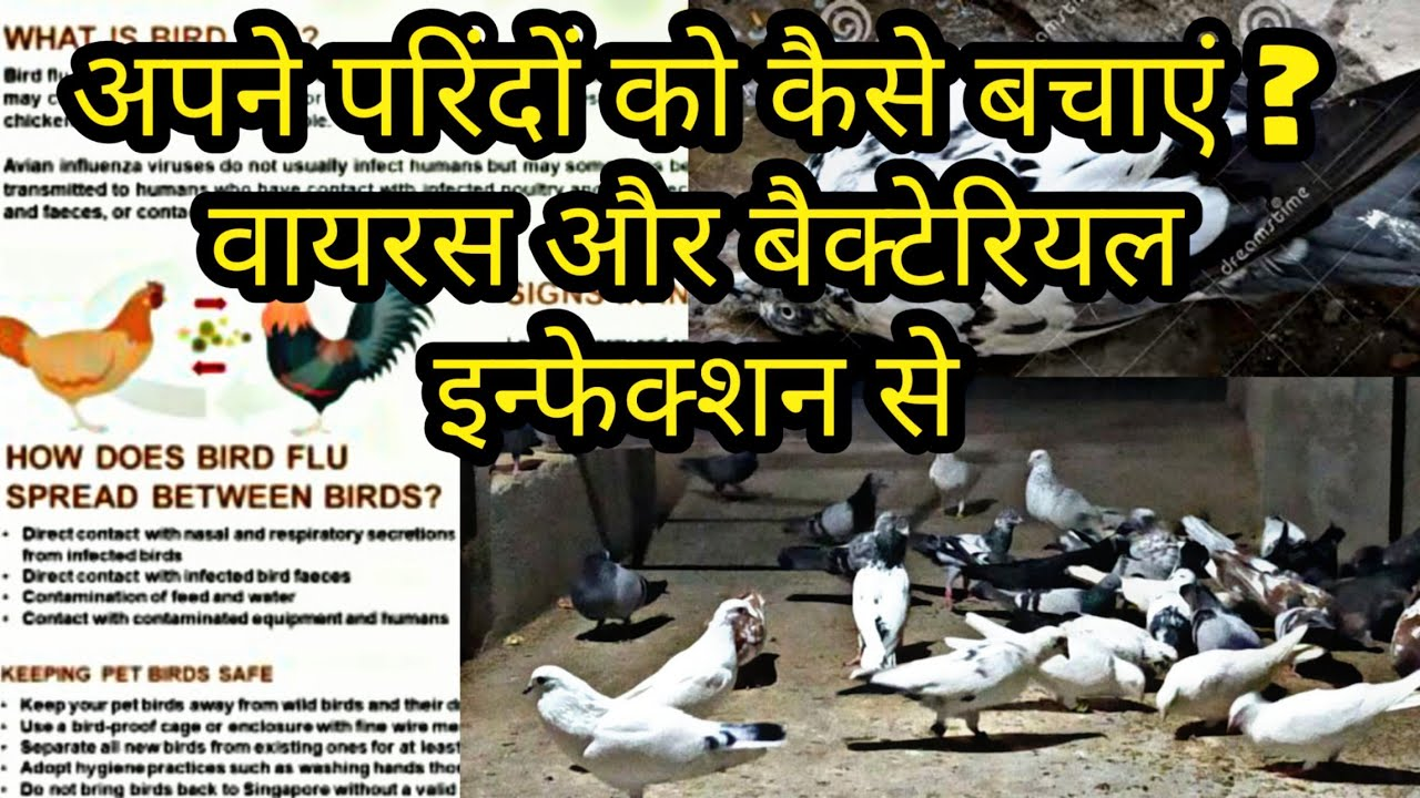 Treatment And Prevention Of BIRD FLU Along With Viral And Bacterial Infections