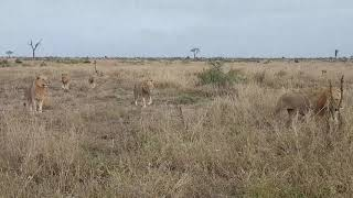 7 young male lions in Kruger