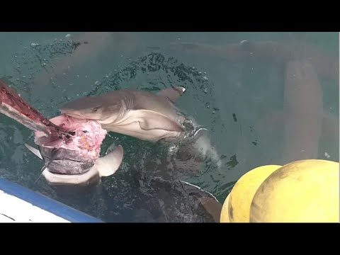 【衝撃】落ちたら死ぬ漁港 サメ!サメ!サメ!GT!