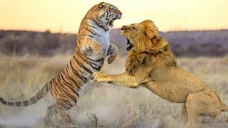 Tygrys kontra lew: kto jest prawdziwym królem zwierząt?