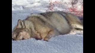 Охота на волка арлан