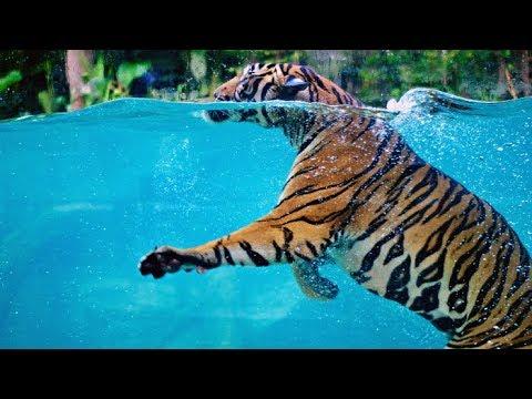 Saib Tsov Da Dej Lomzem Tshaj ดูเสือเล่นน้ำ