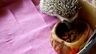 Karmienie jeża pigmejskiego