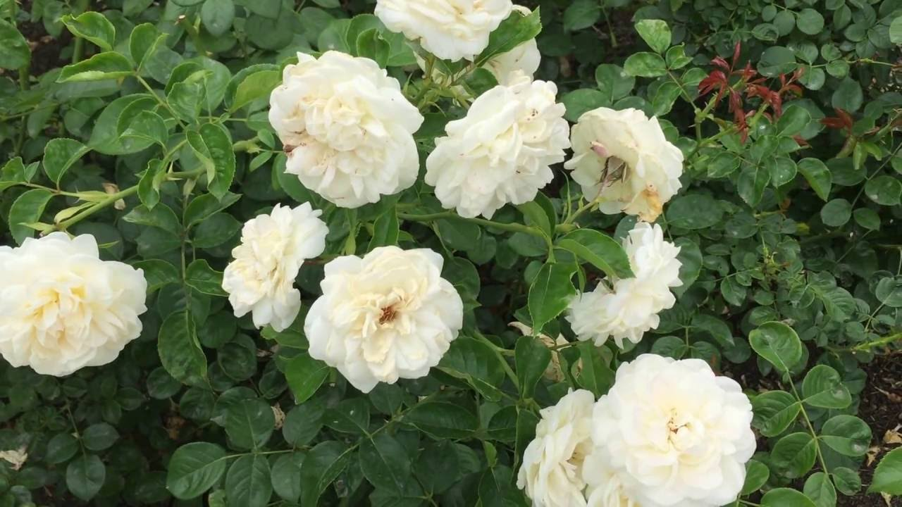 Summer Memories Shrub Rose