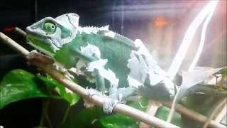 Chameleon skin  - Muda Camaleón