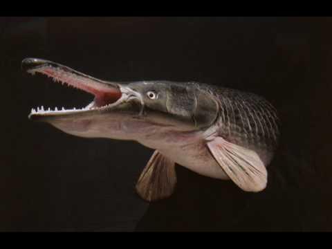 Florida alligator gar youtube for Florida fishing license lookup