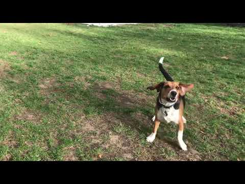 Beagle playing fetch! HD Quality 1080p