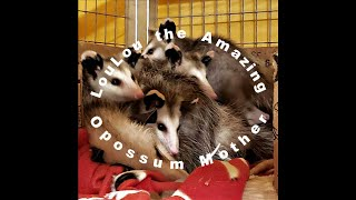 LouLou the Amazing Opossum Mother and Her 7 Babies