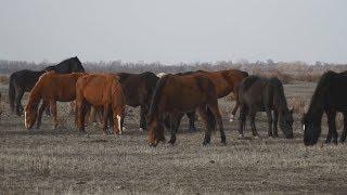В Средней Елюзани приступили к разведению кушумской породы лошадей
