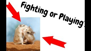 Are my Hamsters Playing or Fighting?