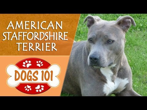 Dogs 101  AMERICAN STAFFORDSHIRE TERRIER  Top Dog Facts About the AMERICAN STAFFORDSHIRE TERRIER