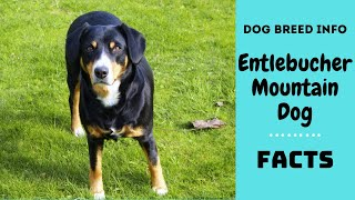 Entlebucher Mountain Dog breed. All breed characteristics and facts about Entlebucher Mountain Dog