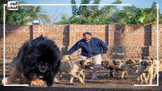 الكلاب القتلة 😱🏃♂️.. مهندس مصرى يستورد أخطر ٣ كلاب .. فى العالم لو شوفتها اهرب وانج بحياتك#فتحى_شو