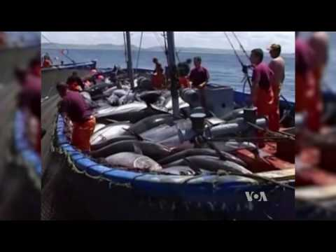 Bluefin Tuna Safer To Eat Thanks To Anti-pollution Efforts