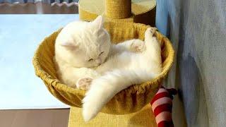 苦手だったハンモックの良さを知ってしまった猫