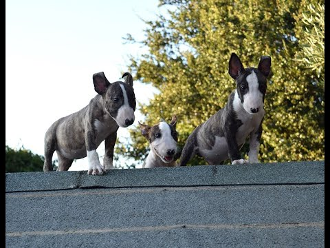bull-terrier-puppy-introduction-to-training