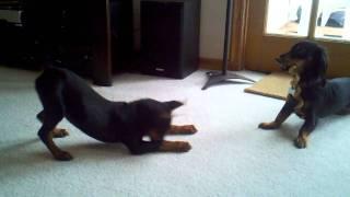 German Pinscher Puppy Zena And Dachshund Arthur
