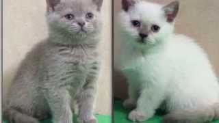 Британские котята. Купить британского котенка