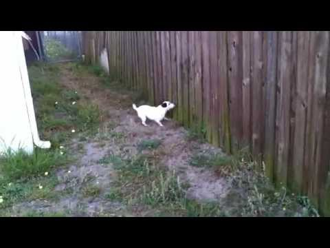 Jetson: My 7 year old Jack Russell Terrier Antagonizes Neighbor's Dog