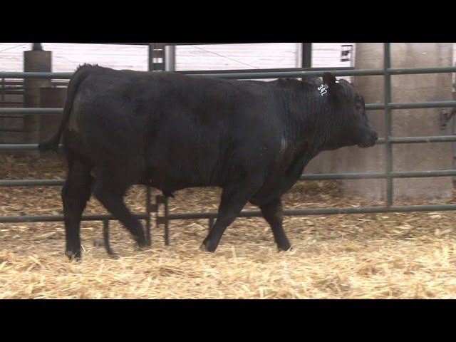 Schiefelbein Angus Farms Lot 342