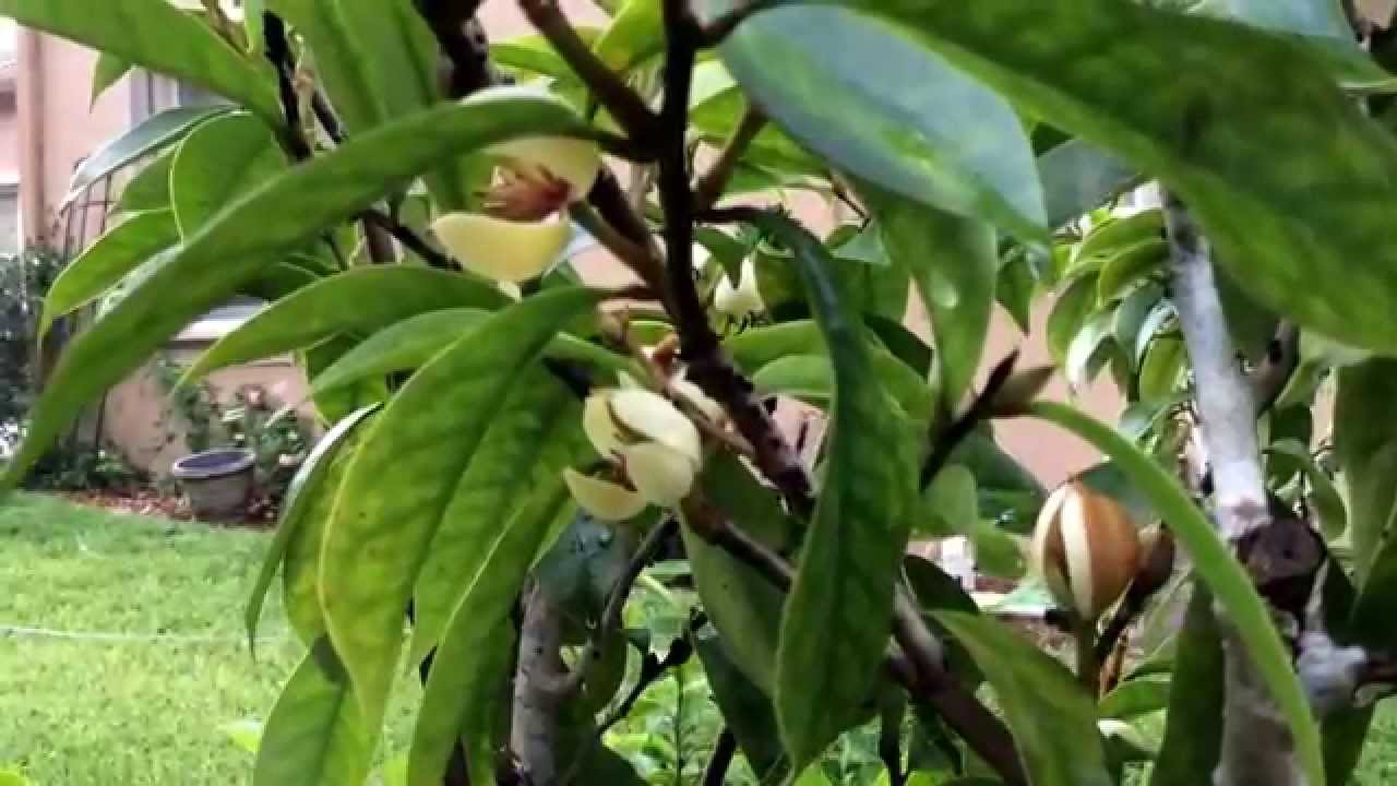 Michelia Figo Banana Shrub Youtube