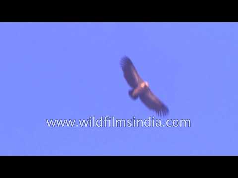Griffon Vulture soaring in the Himalayan sky
