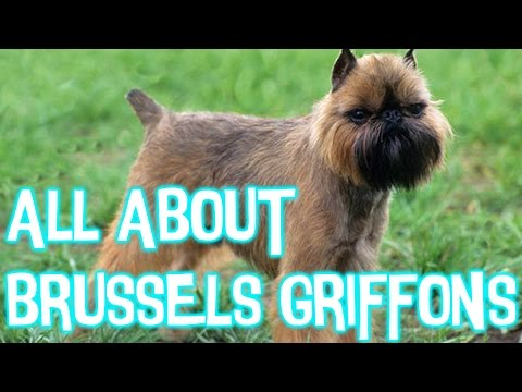 5 Facts About Brussels Griffons
